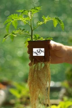 корневая система помидор